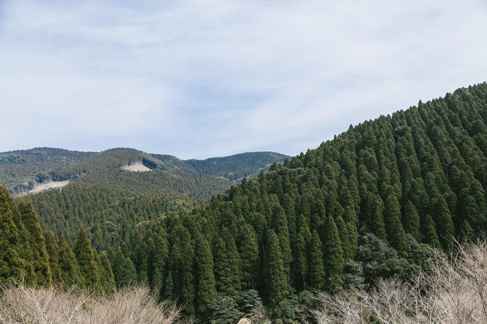 「すくすく育つ飫肥杉山林」の写真