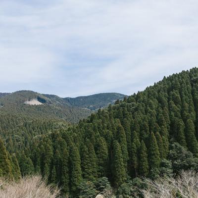 「すくすく育つ飫肥杉山林」の写真素材