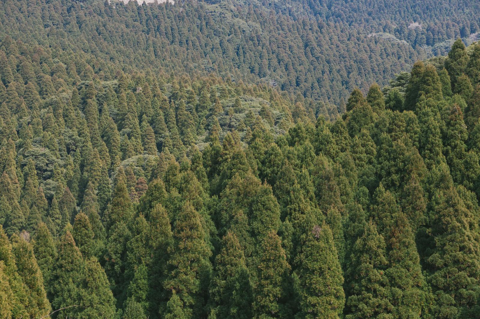 「飫肥杉(植林)」の写真