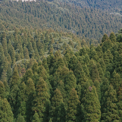 「飫肥杉(植林)」の写真素材