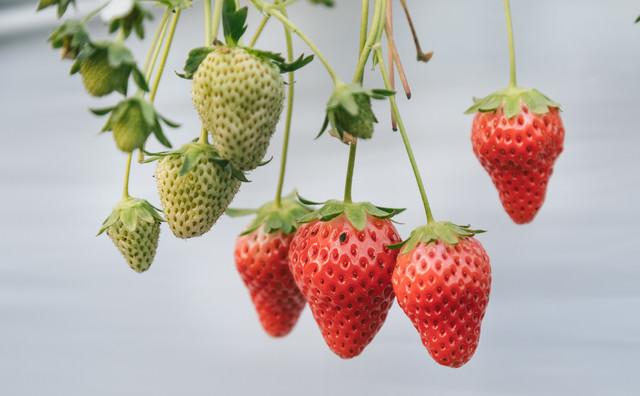 熟した苺と育ち盛りの苺の写真
