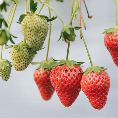 「熟した苺と育ち盛りの苺」の写真素材