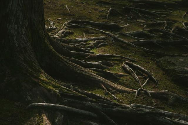 飫肥杉の苔と根っこの写真