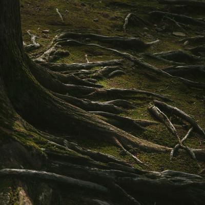 「飫肥杉の苔と根っこ」の写真素材