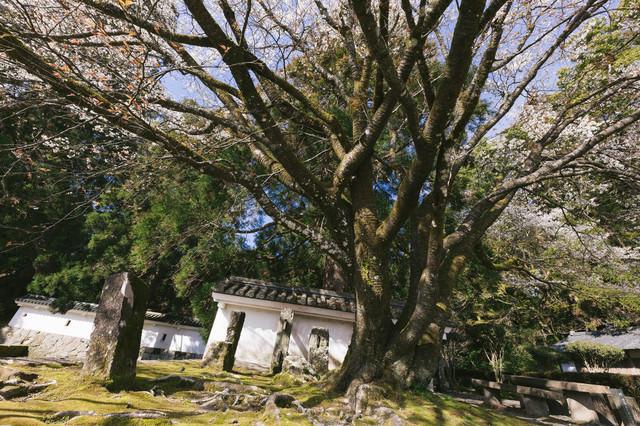 飫肥城の塀と桜の大木の写真
