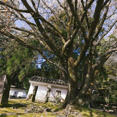 「飫肥城の塀と桜の大木」の写真素材