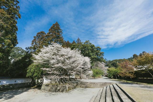 飫肥城内の歴史感じる桜の写真
