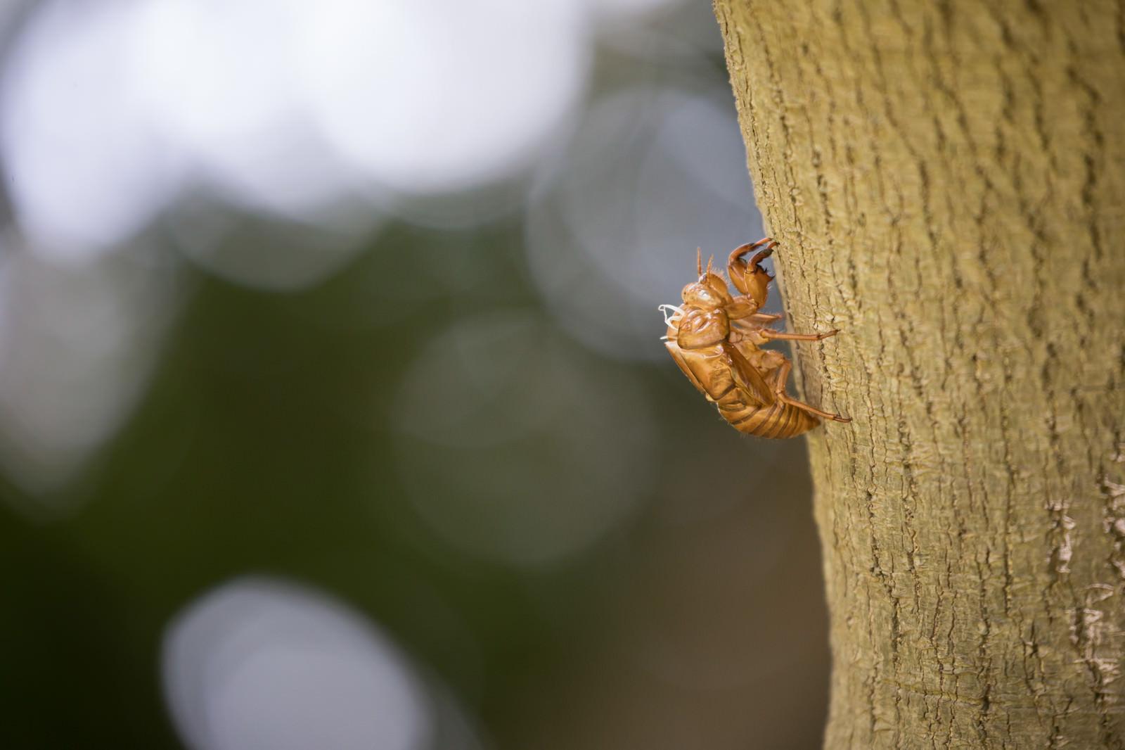 「蝉の抜け殻」の写真