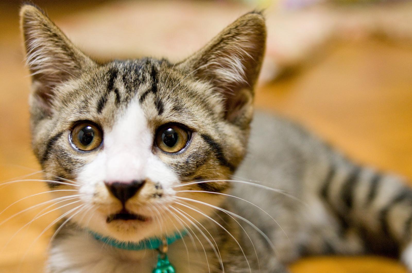 「アチャーやってもうたわ(猫)アチャーやってもうたわ(猫)」のフリー写真素材を拡大
