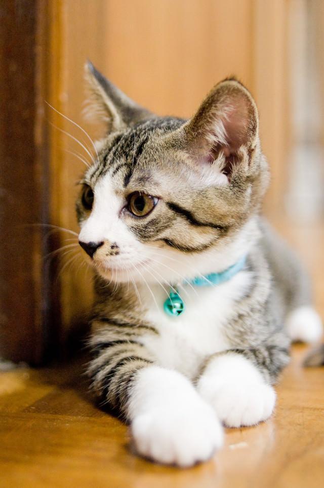 首輪をつけた子猫の写真