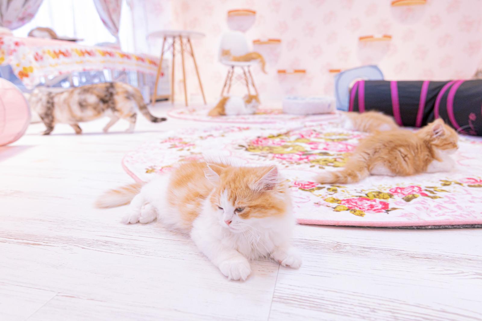 「遊び疲れた猫たち(猫カフェの様子)」の写真