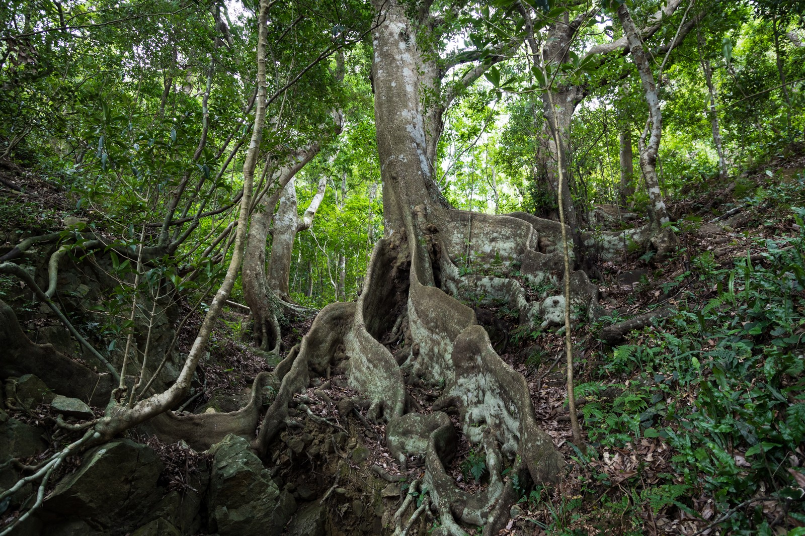 「巨大な根のオキナワウラジロガシ」の写真