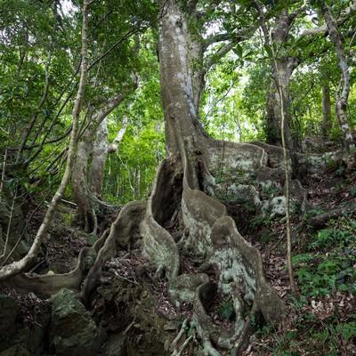 巨大な根のオキナワウラジロガシの写真