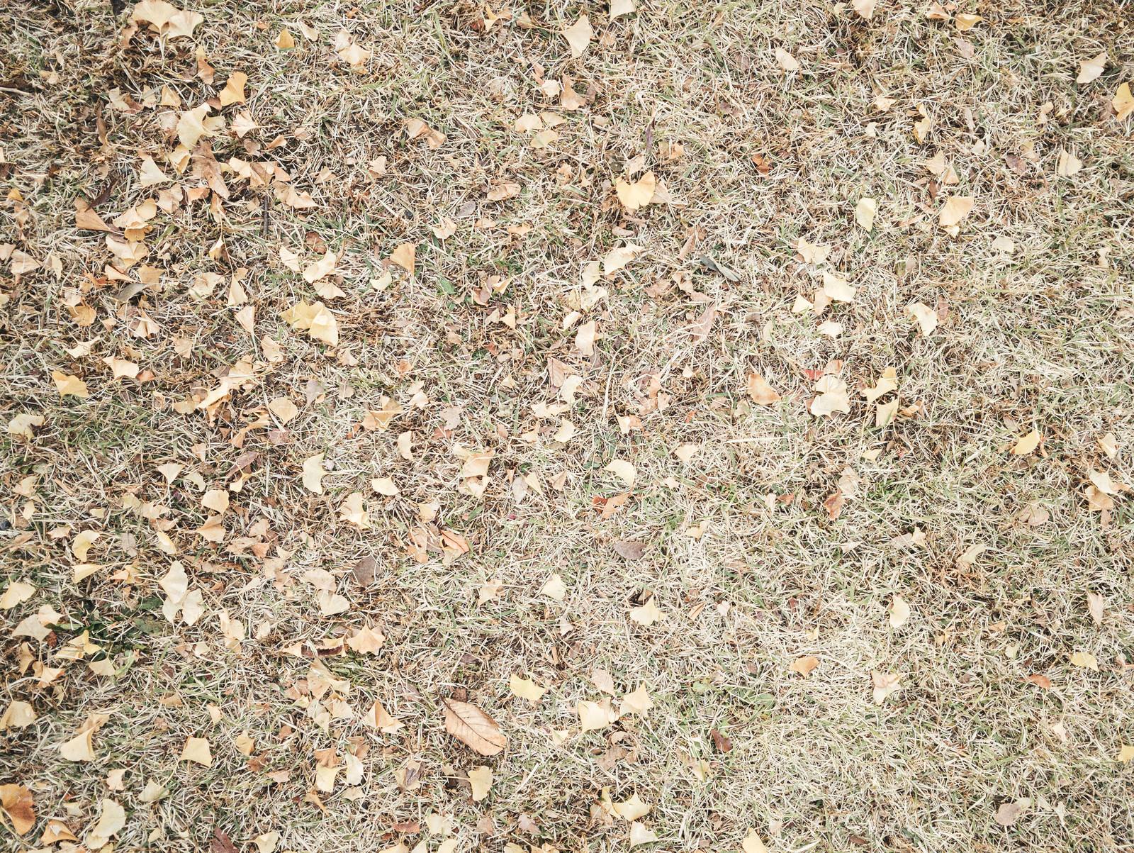 「枯れた芝生と銀杏の落葉(テクスチャ)」の写真