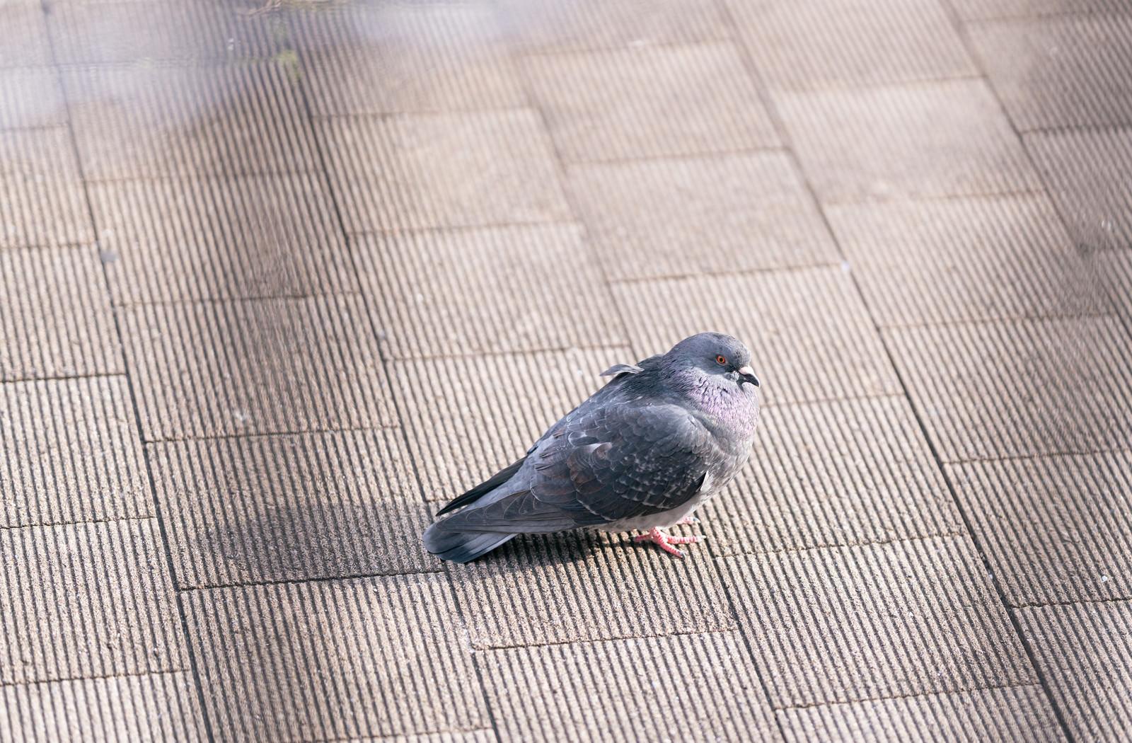 「冷える鳩さん」の写真