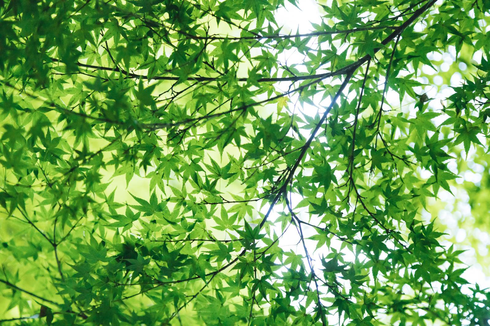 「新緑のもみじ新緑のもみじ」のフリー写真素材を拡大