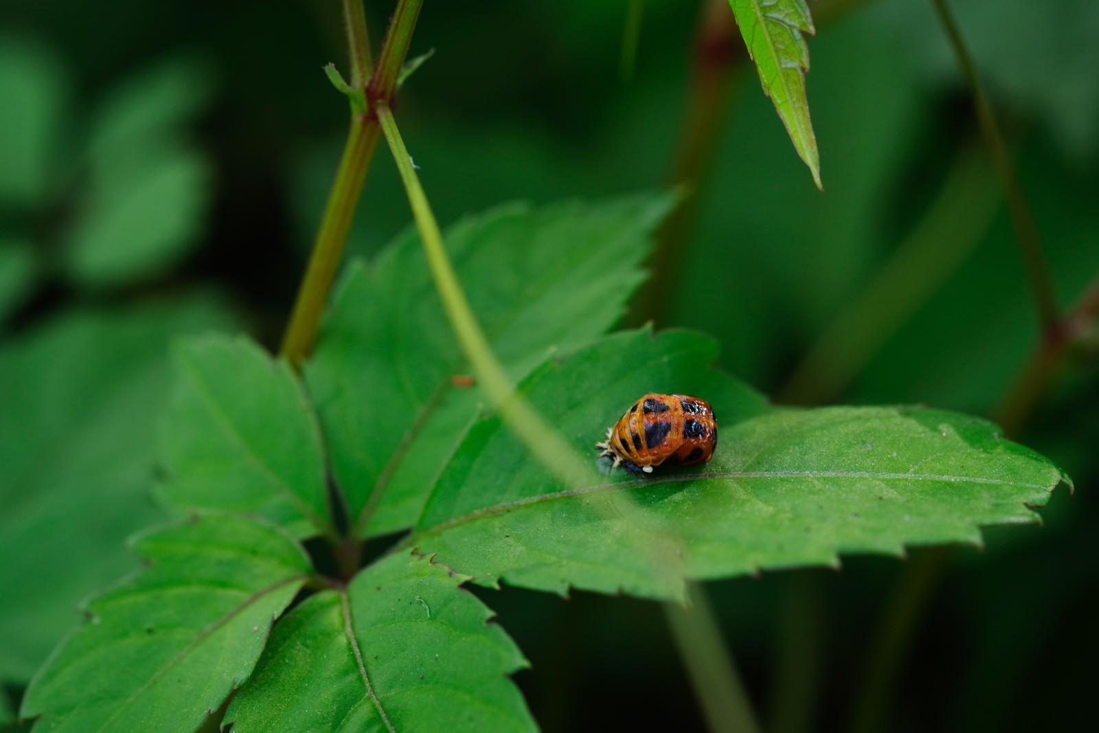 「葉の上に乗る黒い斑点のてんとう虫」の写真