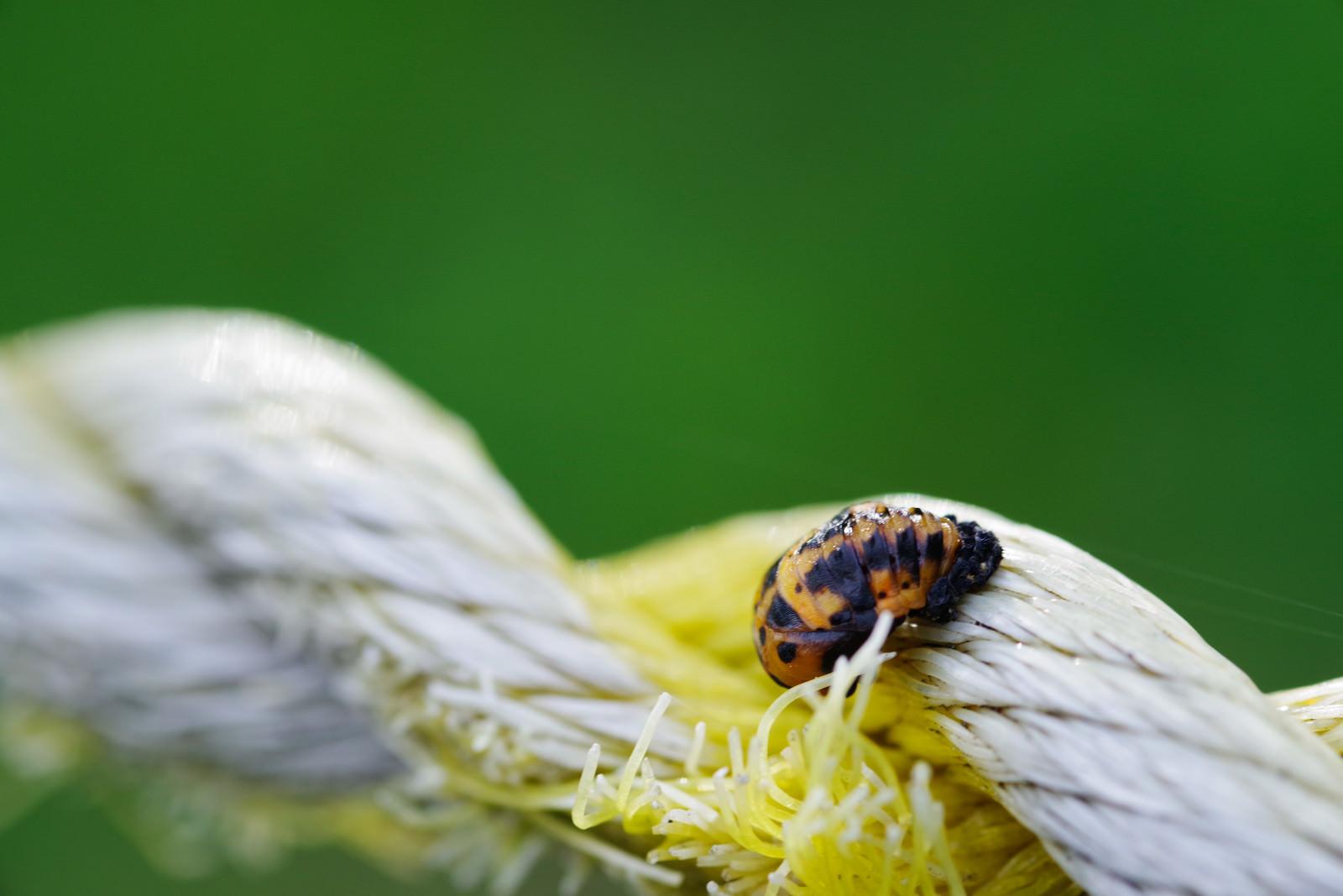 「ロープをわたる黒い斑点のてんとう虫」の写真