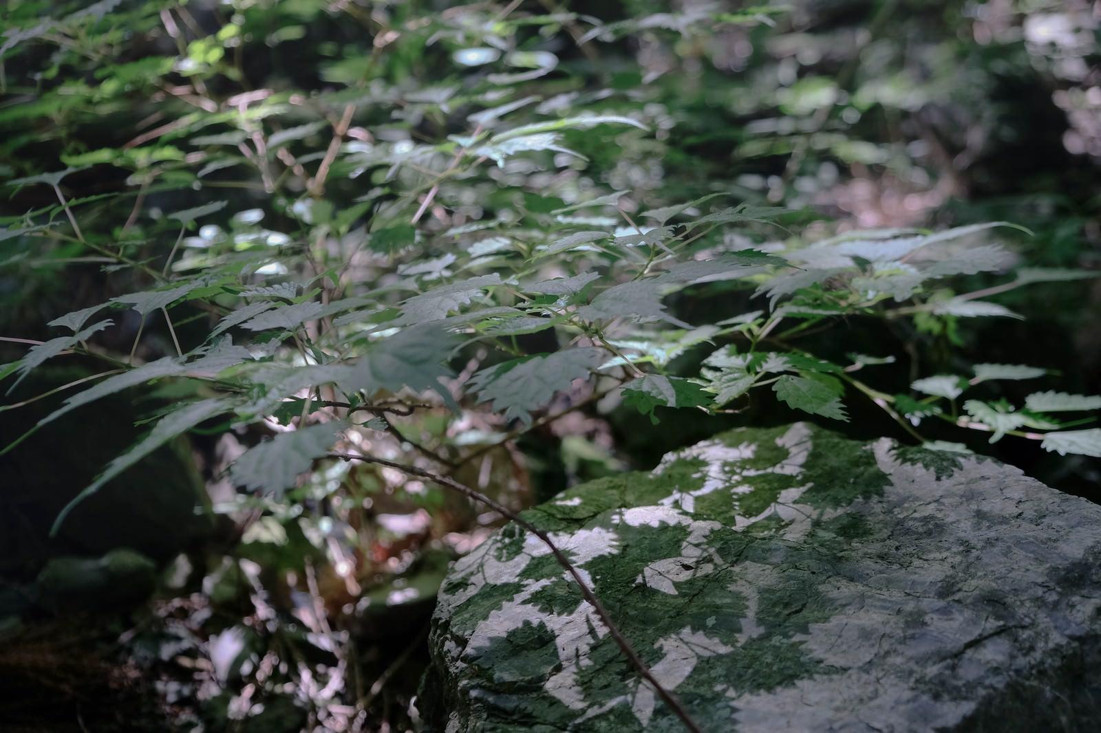「朝日が描く緑の影朝日が描く緑の影」のフリー写真素材を拡大