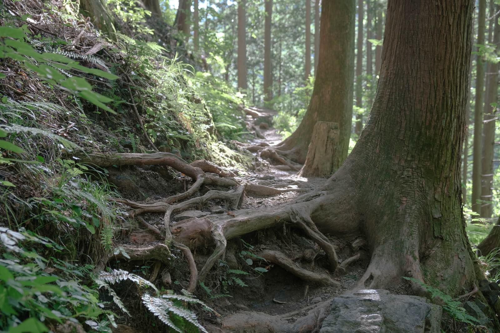 「朝日に照らされる登山道」の写真