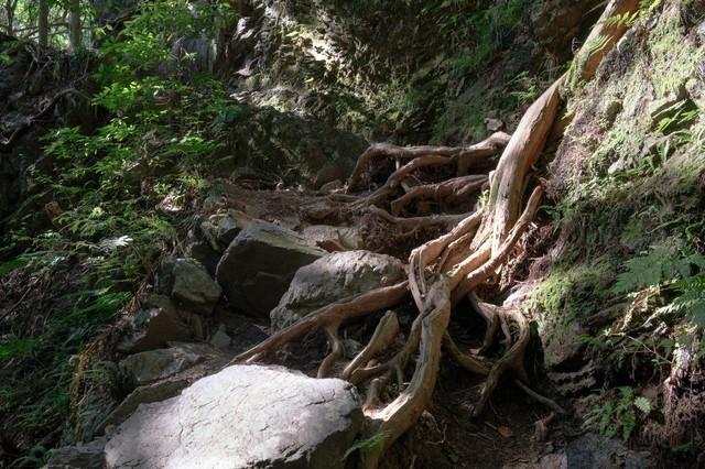 岩を抱く大木の根の写真
