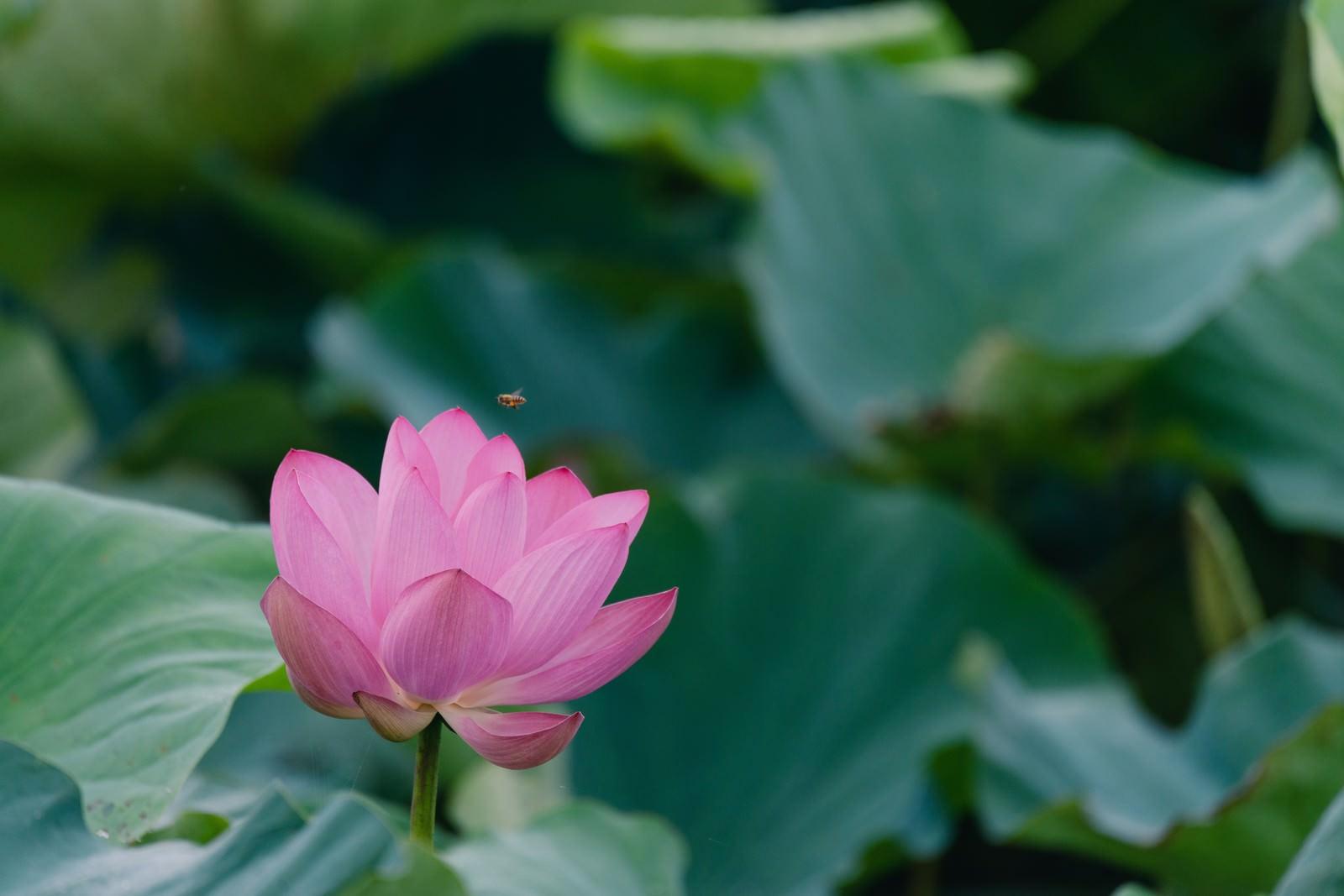 「一輪の蓮と蜂(埼玉県川越市伊佐沼)」の写真