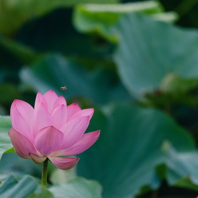 一輪の蓮と蜂(埼玉県川越市伊佐沼)の写真