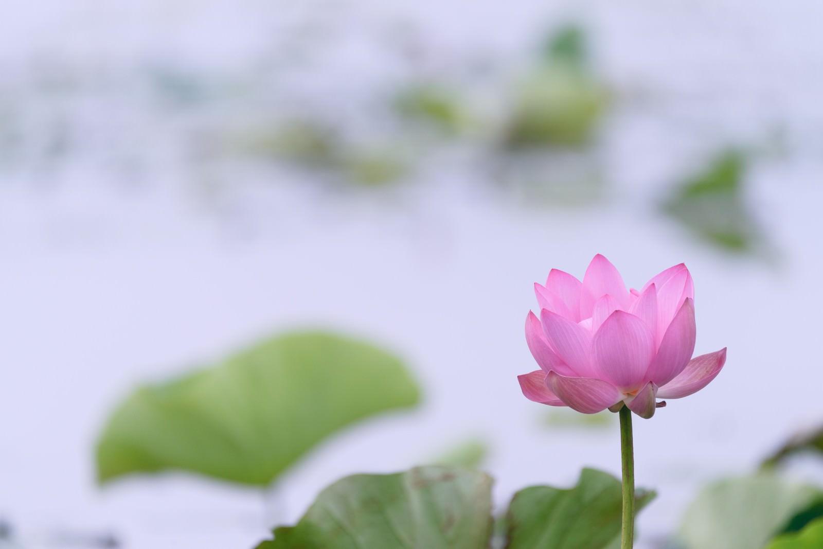 「池に咲く一輪の蓮(埼玉県川越市伊佐沼)」の写真