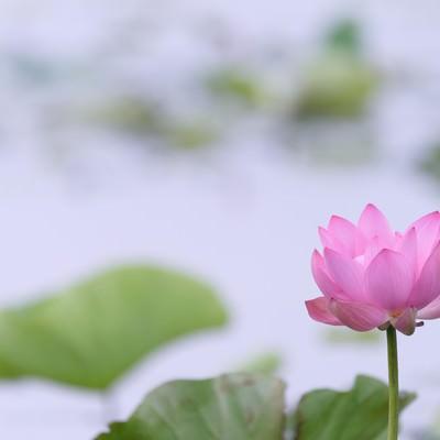 池に咲く一輪の蓮(埼玉県川越市伊佐沼)の写真