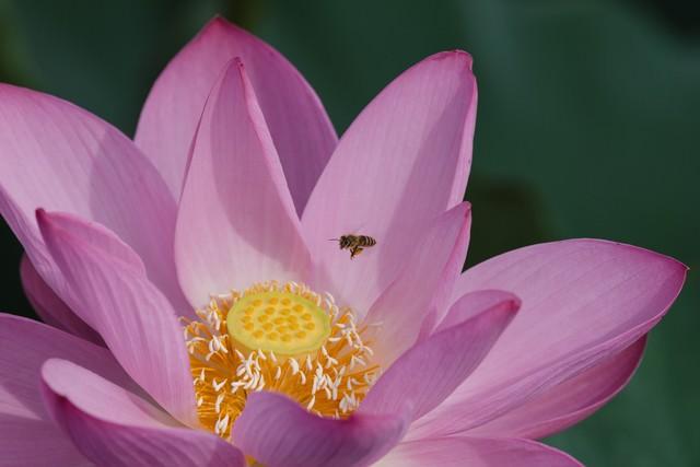 蓮の雄しべに誘われる蜂の写真