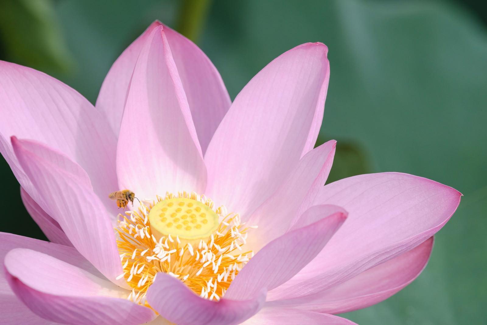 「蓮の雄しべにとまる蜂(埼玉県川越市伊佐沼)」の写真