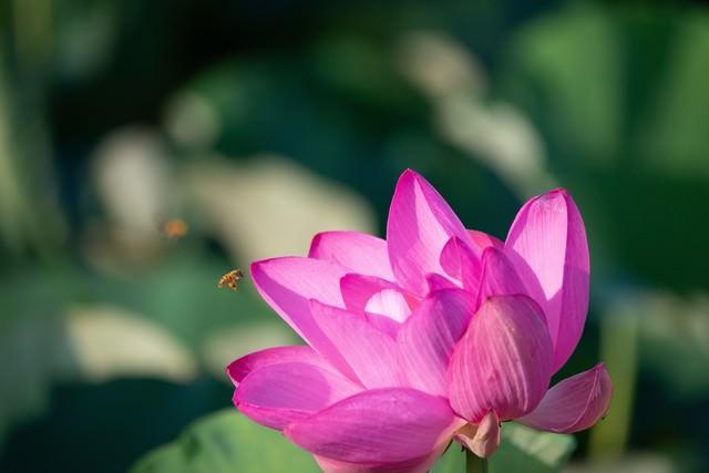 蓮の花に集まる小さなミツバチの写真
