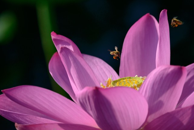 蓮の花に集まるミツバチの写真