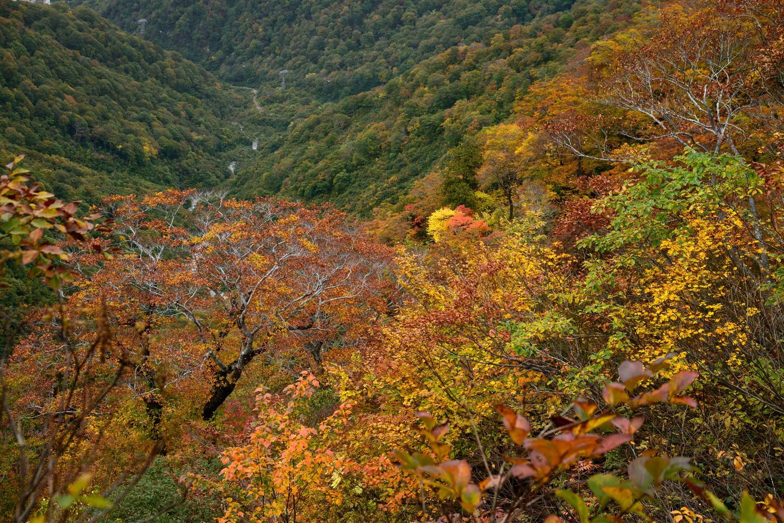 「黄葉した谷川岳の木々 | 写真の無料素材・フリー素材 - ぱくたそ」の写真