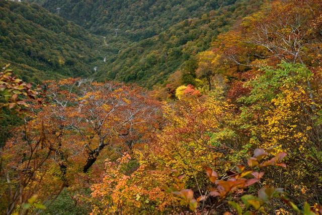 黄葉した谷川岳の木々の写真