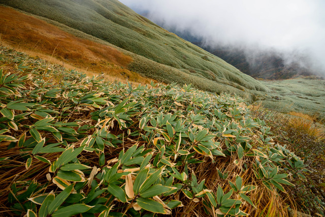 谷川岳(秋)の色づく笹の写真