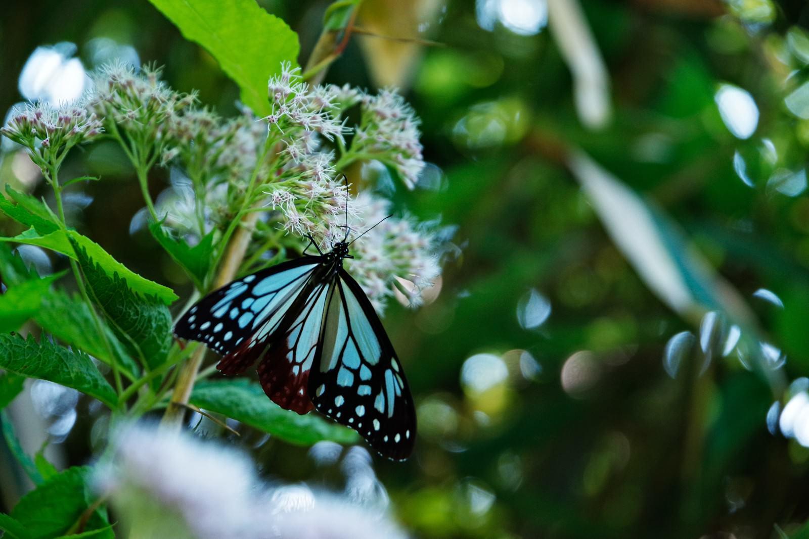 「蜜を吸うタイミングで撮ったアサギマダラ(蝶)」の写真
