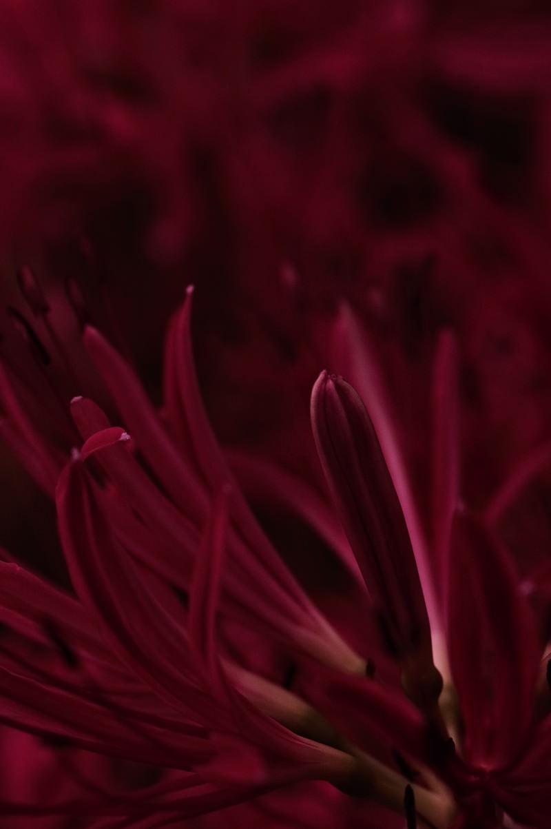 「曼珠沙華の妖艶なつぼみ」の写真