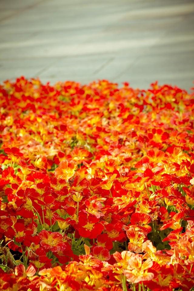 花壇の赤いお花の写真