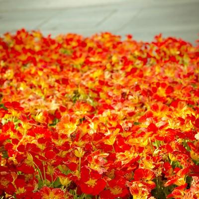 「花壇の赤いお花」の写真素材