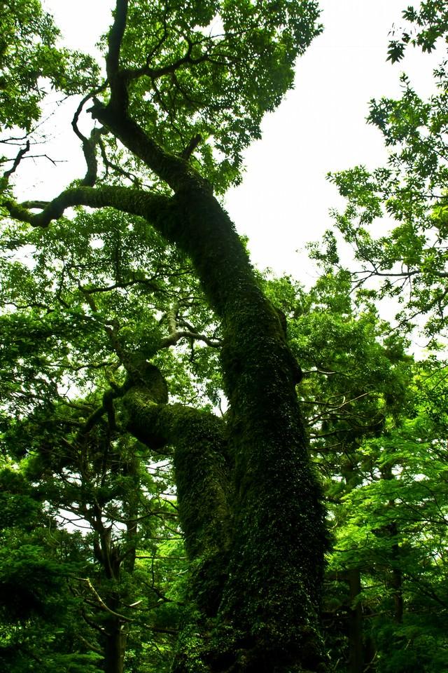 蔓が巻き付く巨木の写真
