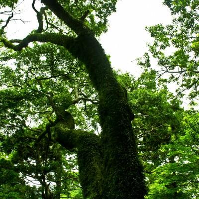 「蔓が巻き付く巨木」の写真素材