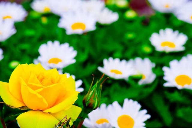黄色い薔薇(バラ)の写真