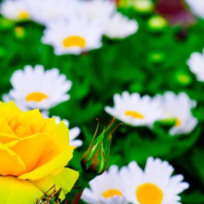 「黄色い薔薇(バラ)」の写真素材