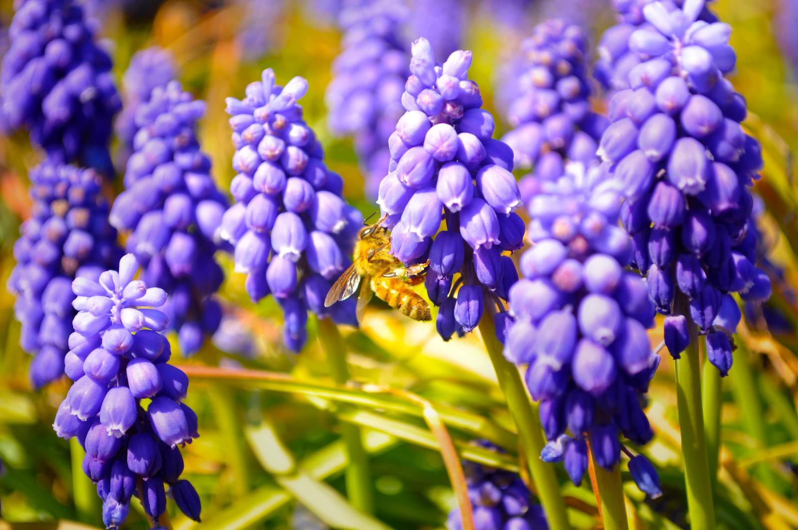 「ムスカリとミツバチ」の写真