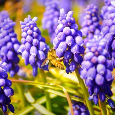 「ムスカリとミツバチ」の写真素材