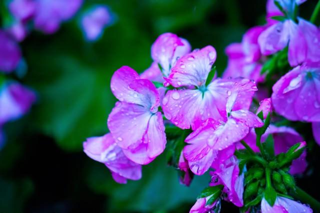 雨に濡れた紫の花の写真