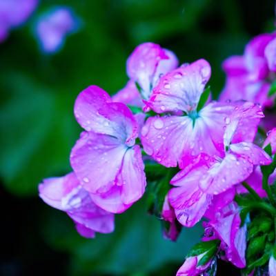 「雨に濡れた紫の花」の写真素材