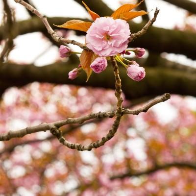 「桜のツボミ」の写真素材