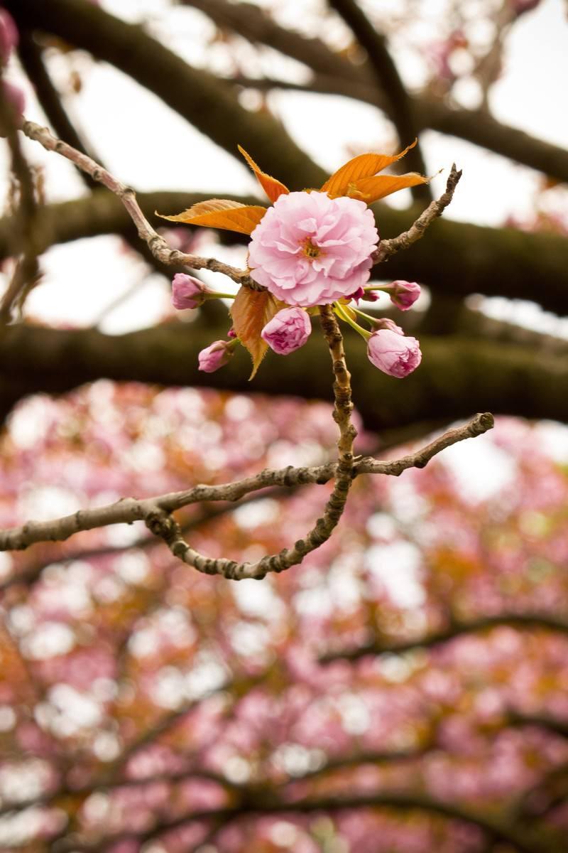 「桜のツボミ」の写真
